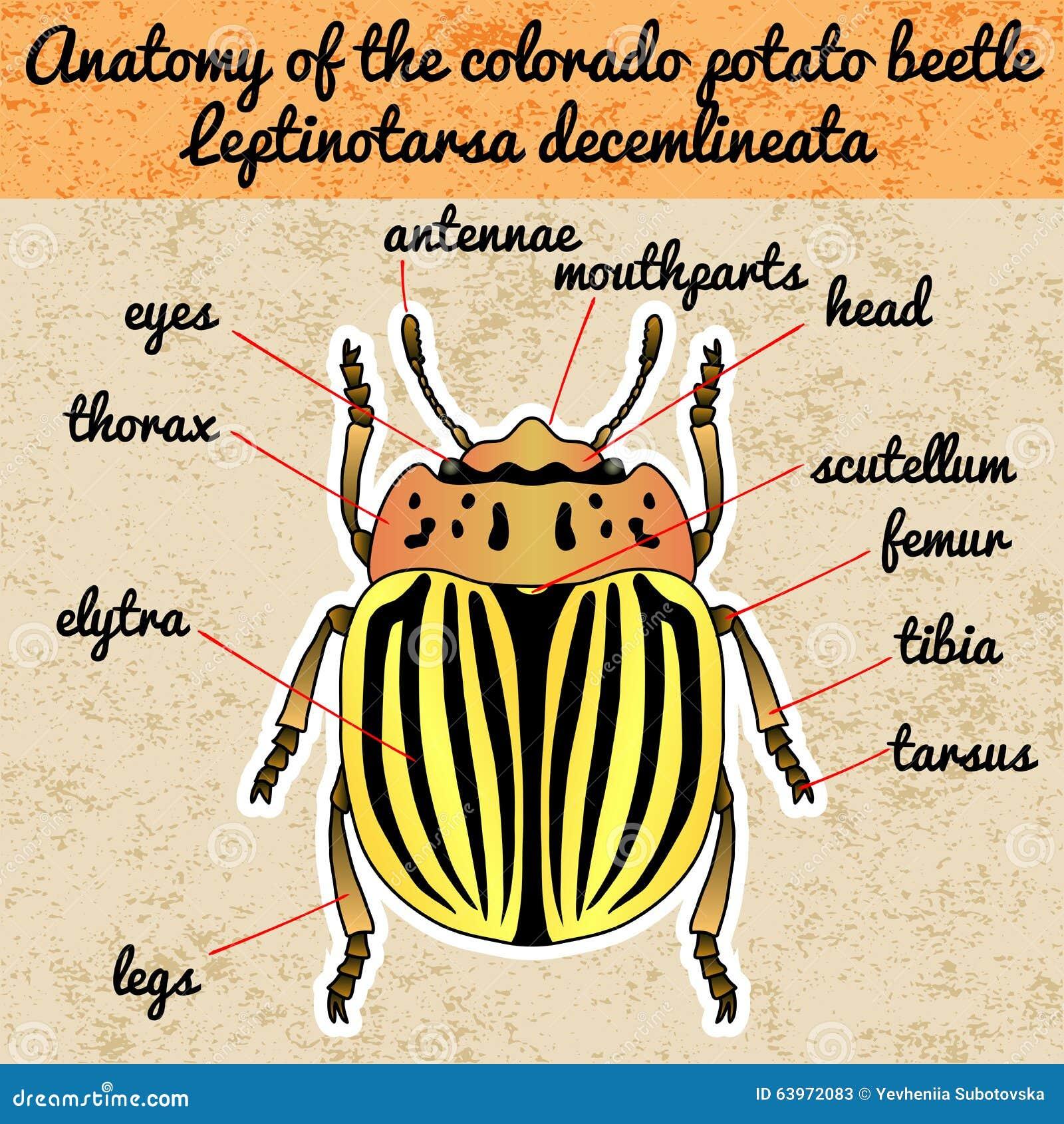 Insect Anatomy. Sticker Colorado Potato Beetle. Leptinotarsa ...