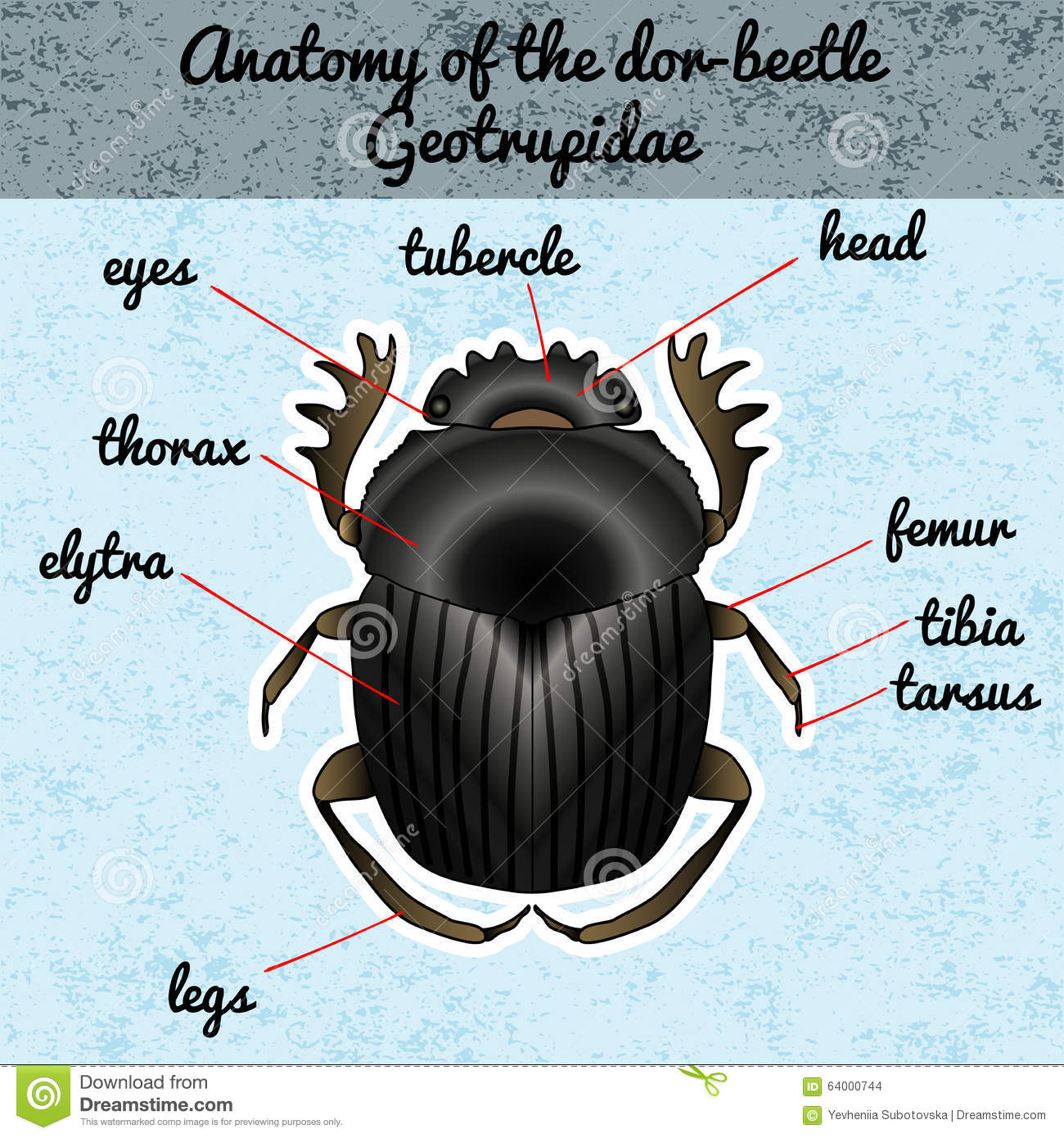 insect anatomy sticker colorado potato beetle leptinotarsa