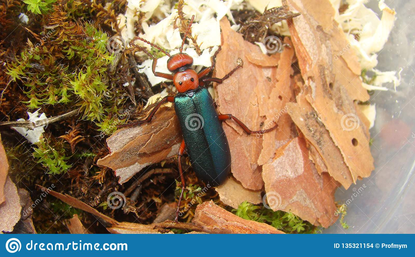 Red Beetle as pet | insect
