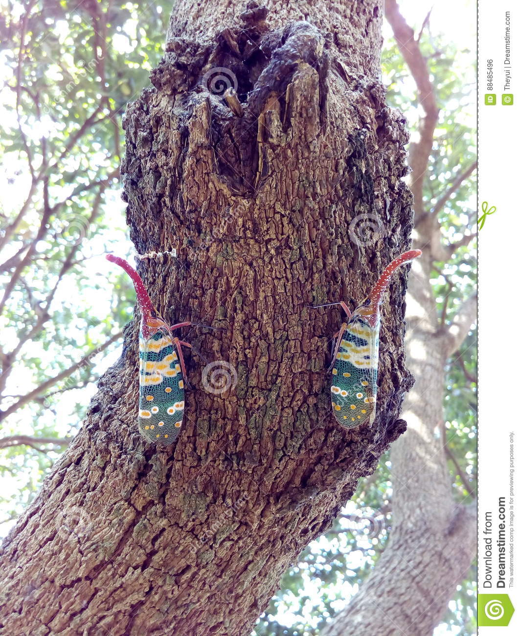 Insect bug Lanternfly Pyrops candelaria colour insect on tree fruit