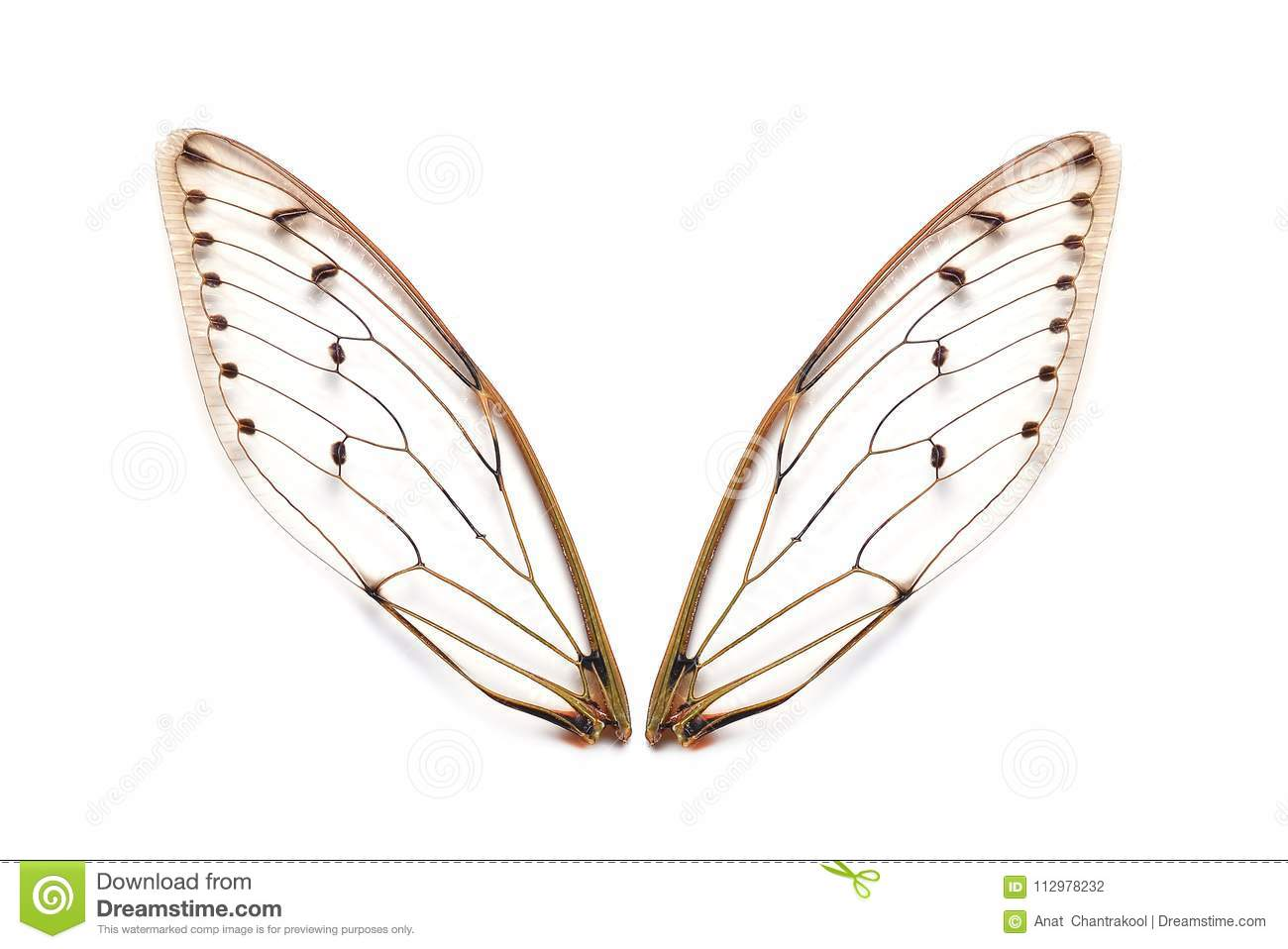 Insect cicada wings