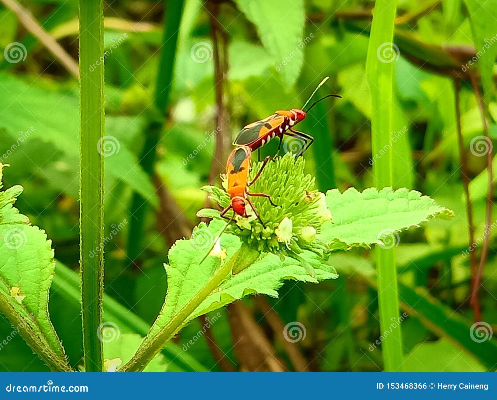 Insect een volwassen mannelijk uiterst klein oranje Mexicaans boonlieveheersbeestje, dameinsect, de Geleedpotigen van de damevoge