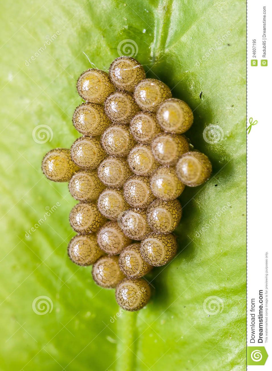 Insect Eggs