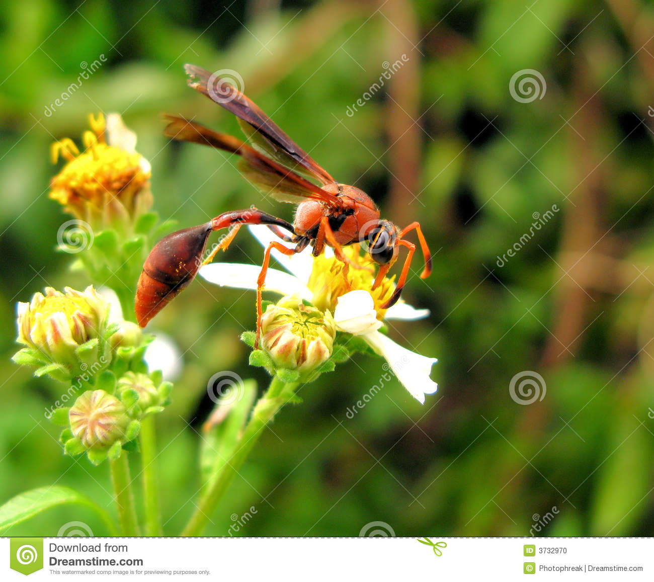 Black Flower Wasp From Australia: Insect On Flower Stock Photo