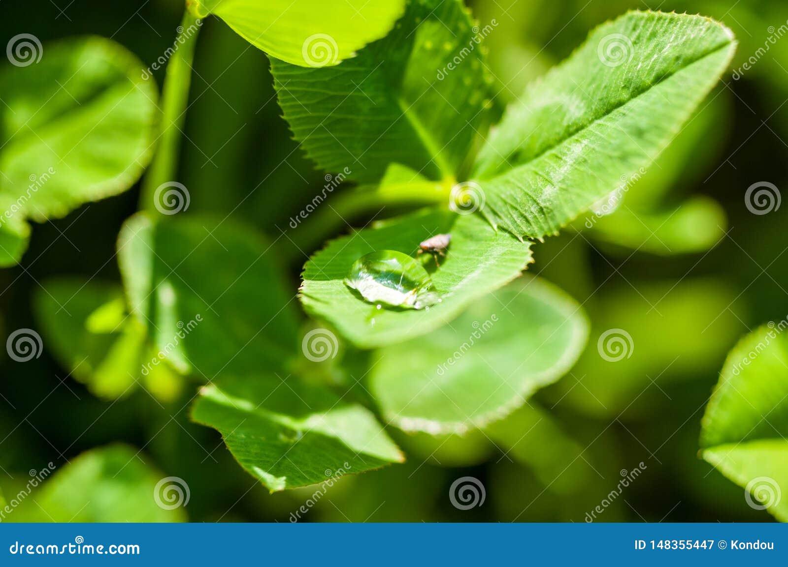 Insect het drinken van een daling van water op het groene gras na de regen, macrofoto