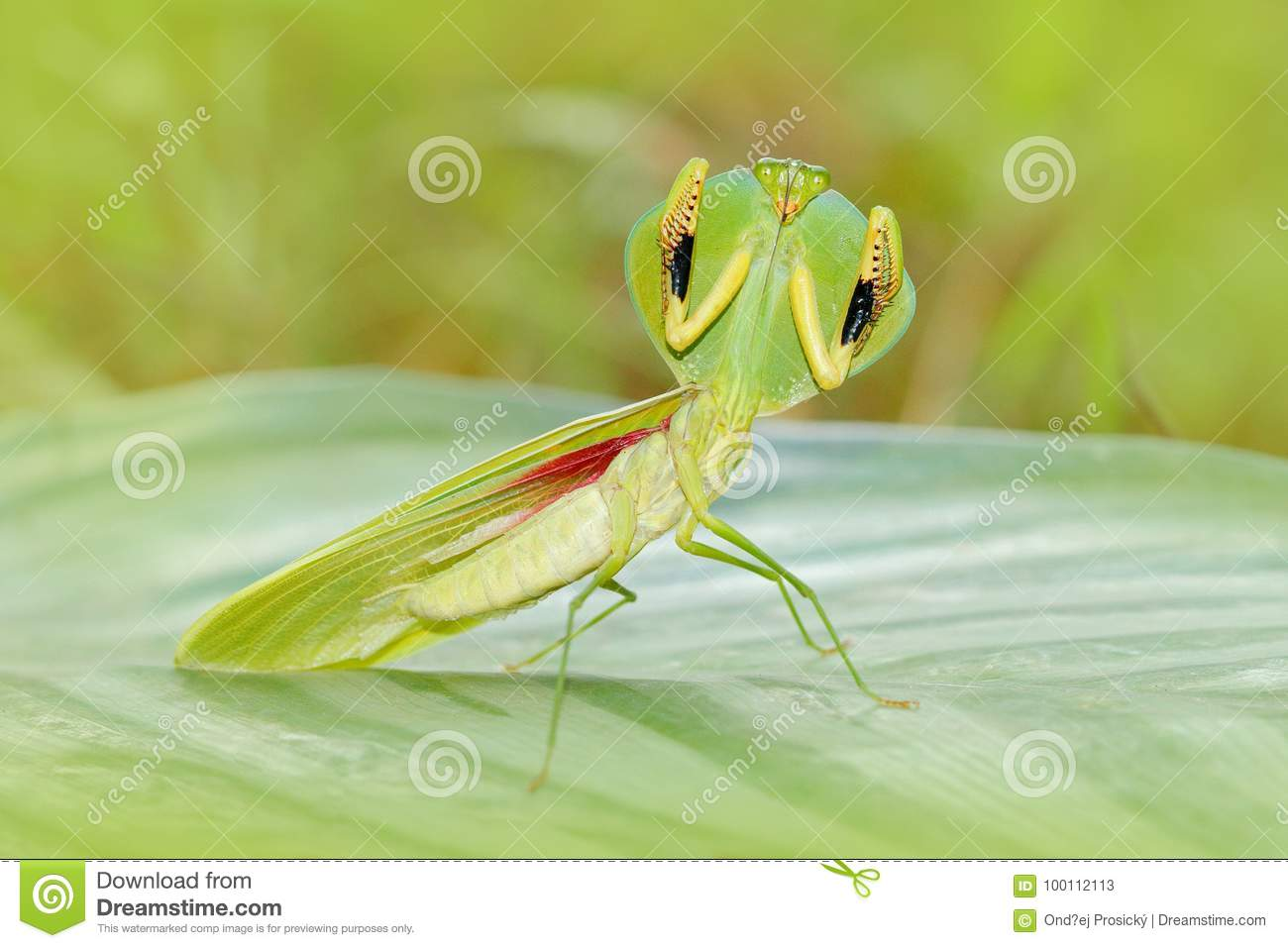 Insect hunter in the nature. Leaf Mantid, Choeradodis rhombicollis, insect from Ecuador. Beautiful evening back light with wild an