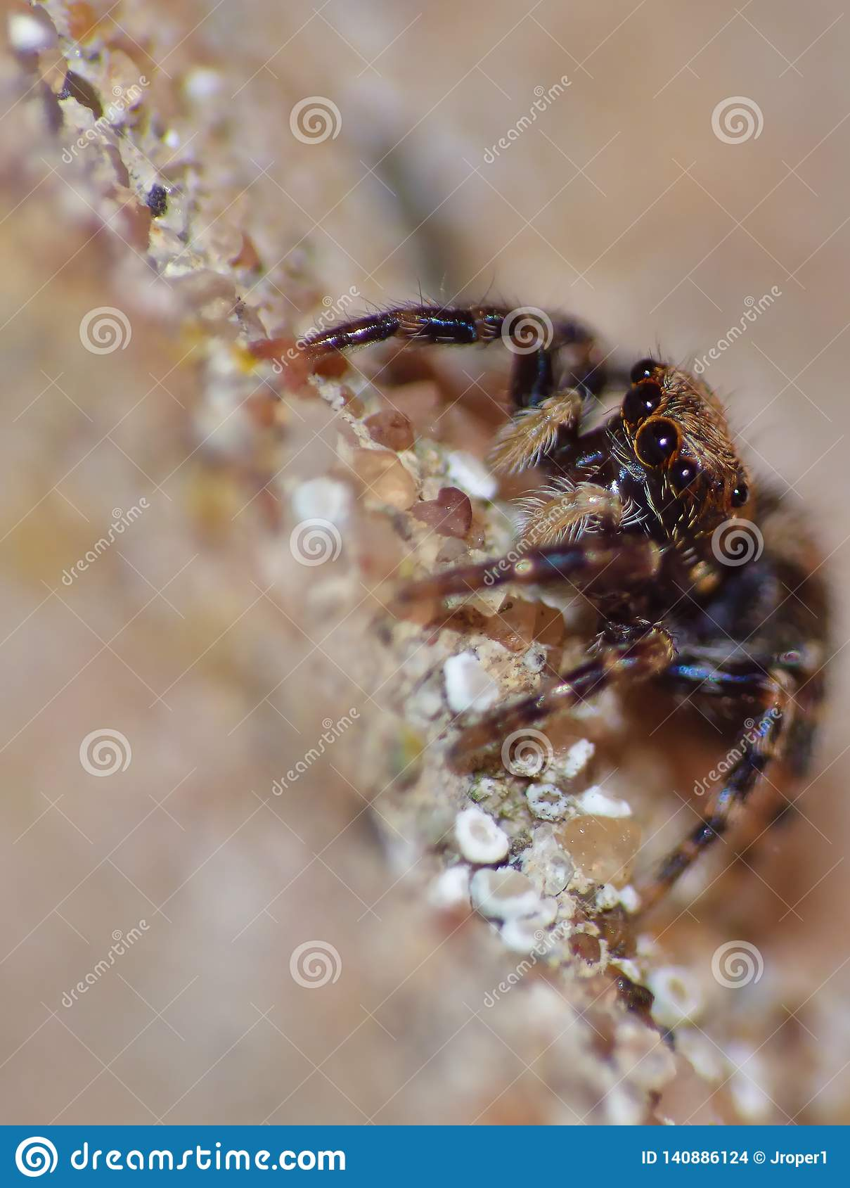 Insect Jumping Spider Close Up Macro