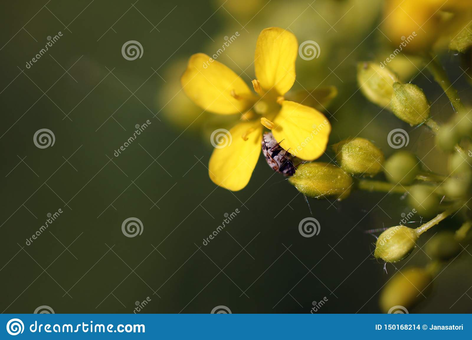A tiny beetle crawling on a little yellow flower.