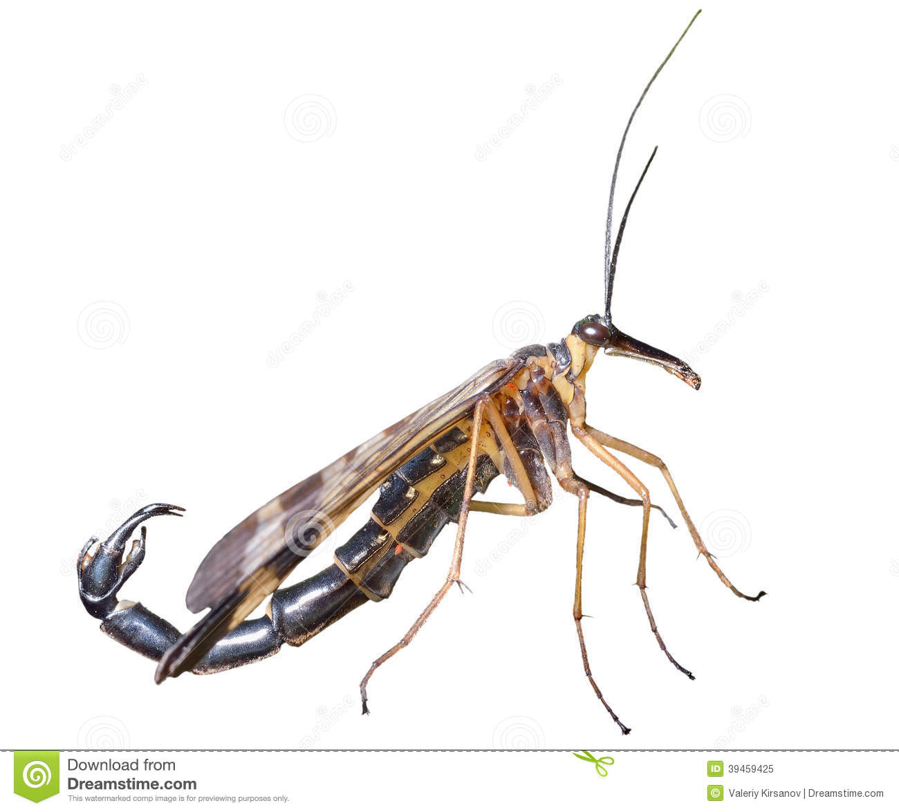 Insect Scorpion's Tail 12 Stock Image. Image Of Profile