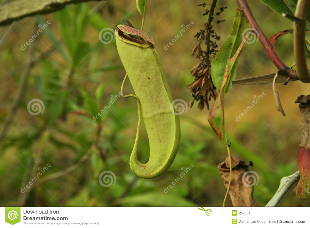 Insect Trap Plant Stock Image