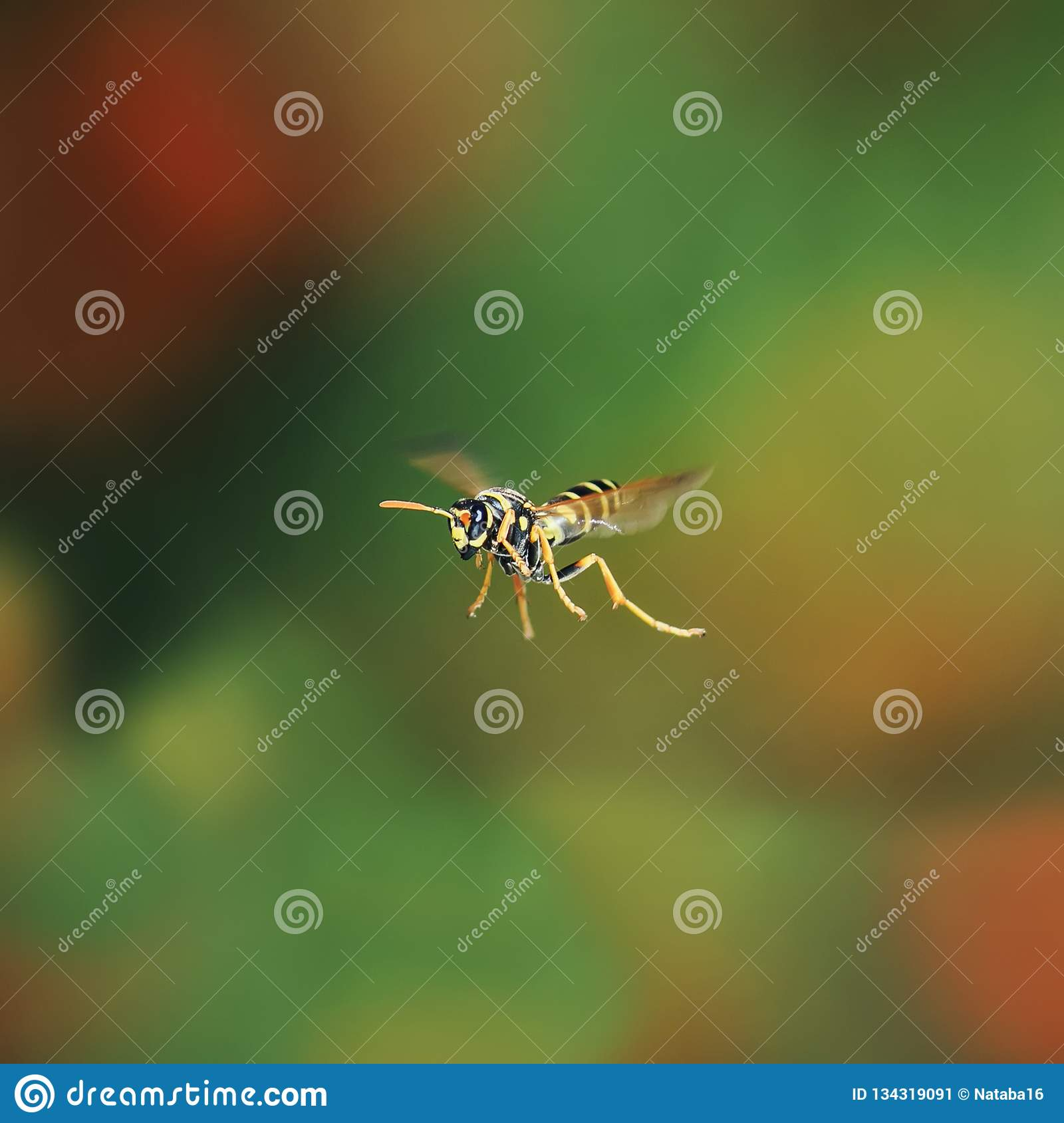 insect wasp flying in Sunny summer garden