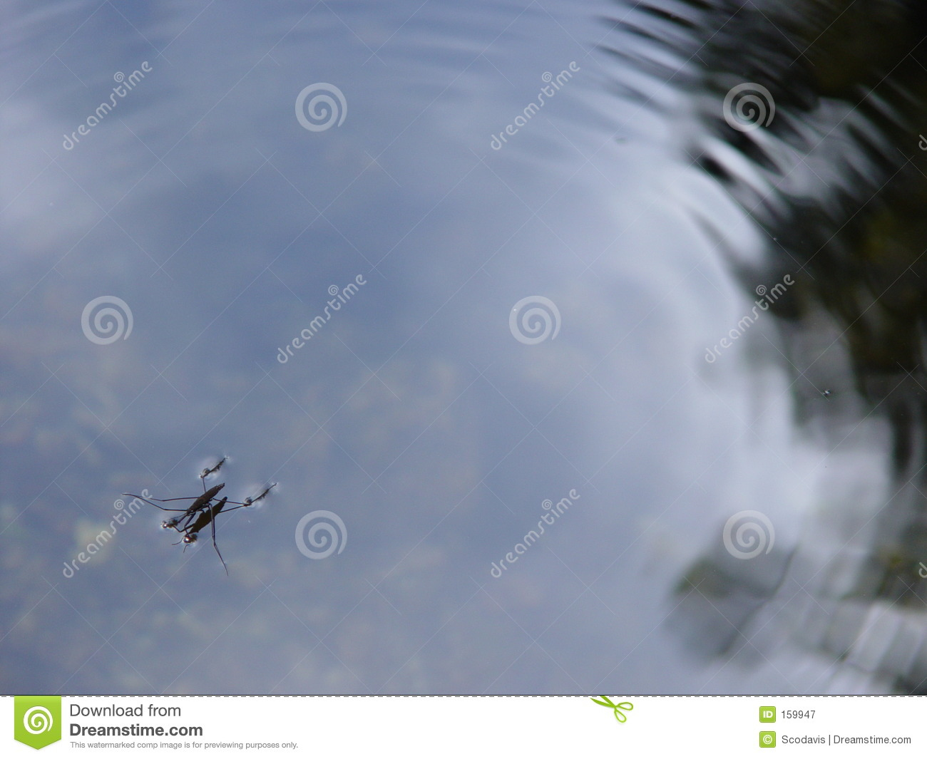 Insect In Water