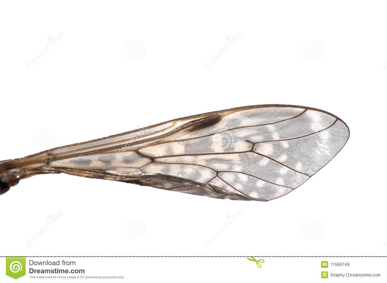 Insect wing stock image. Image of diptera, background ...