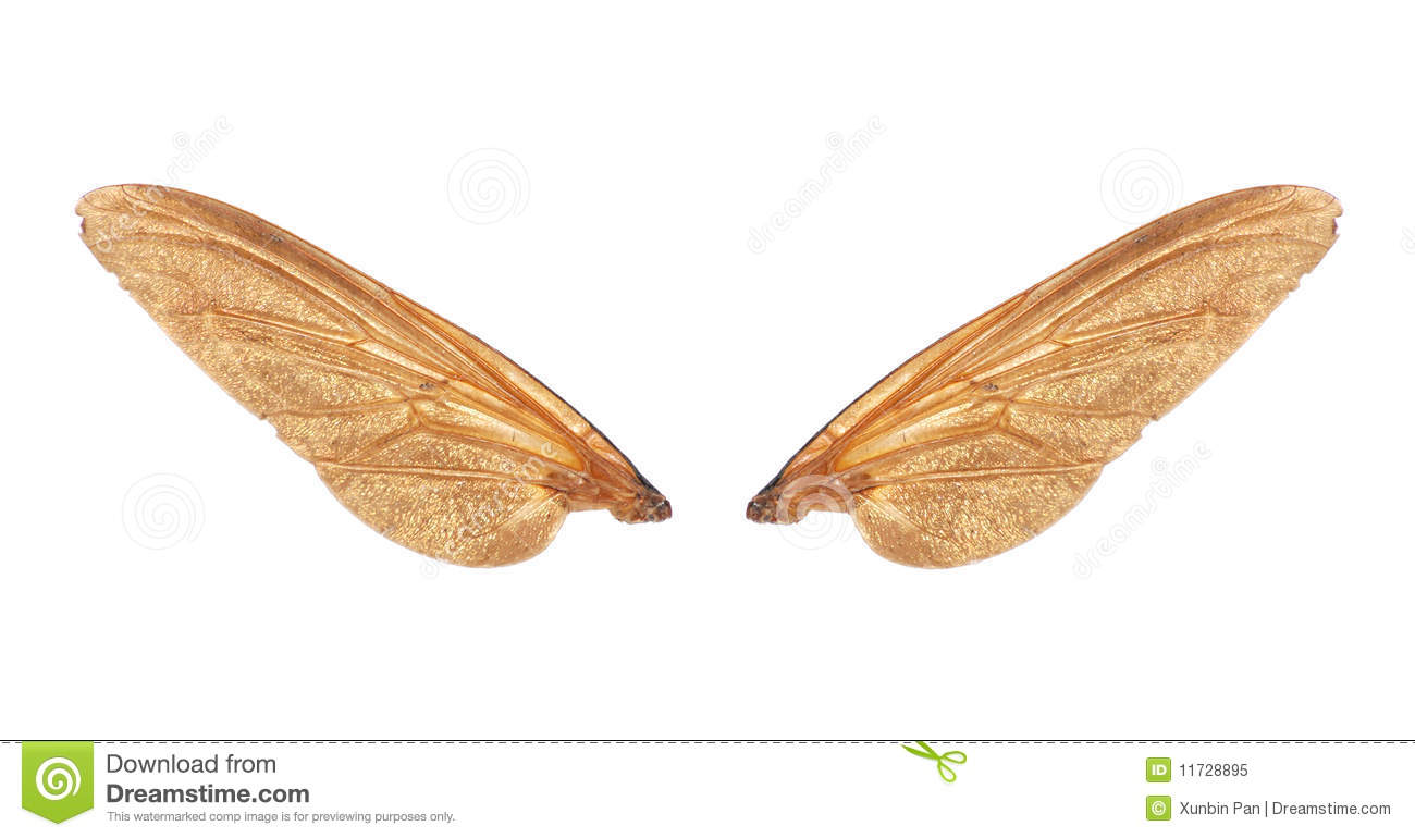 insect wings of fly royalty free stock photo   image 11728895