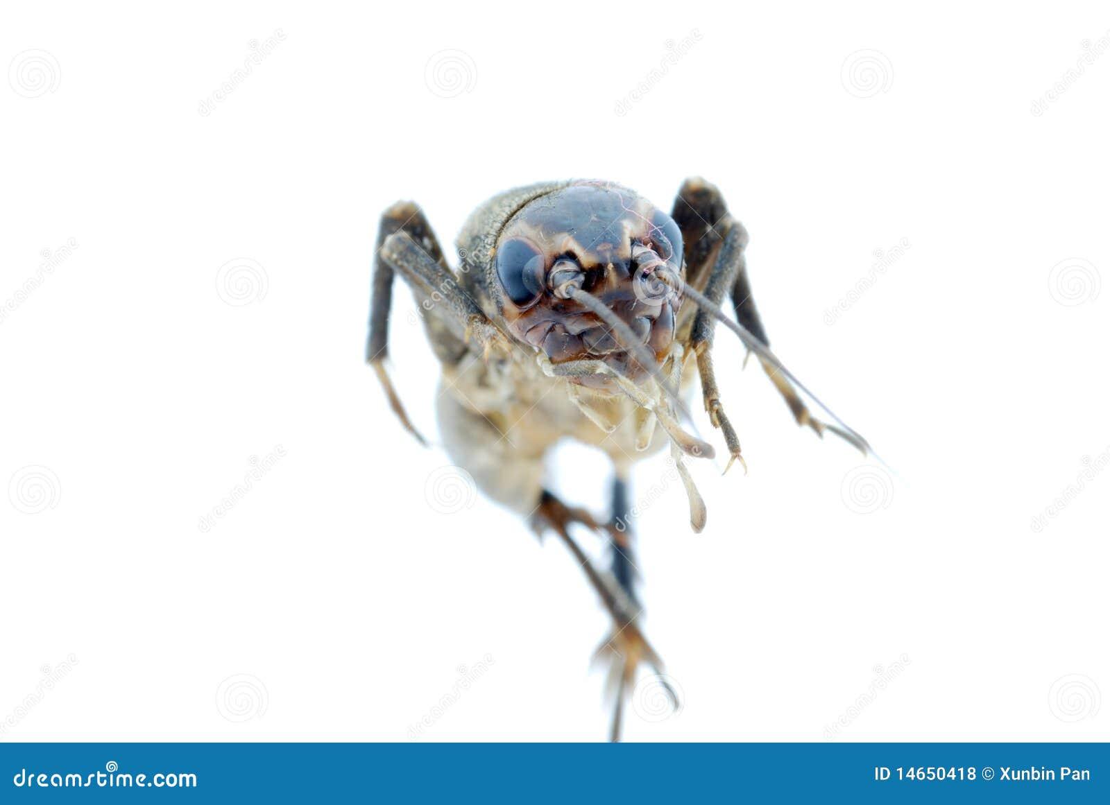 Insecte d anomalie de cricket