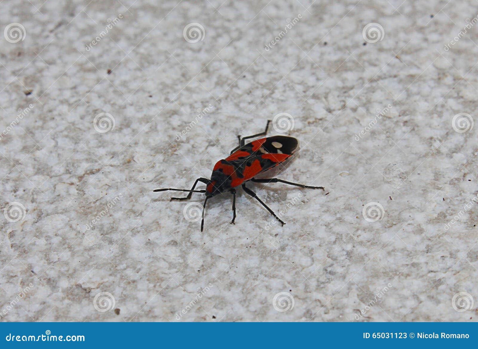 Insecte d 39 insecte rouge et noir photo stock image 65031123 - Insecte rouge et noir ...