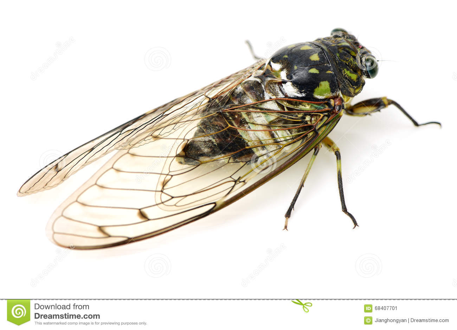 Insecte de cigale