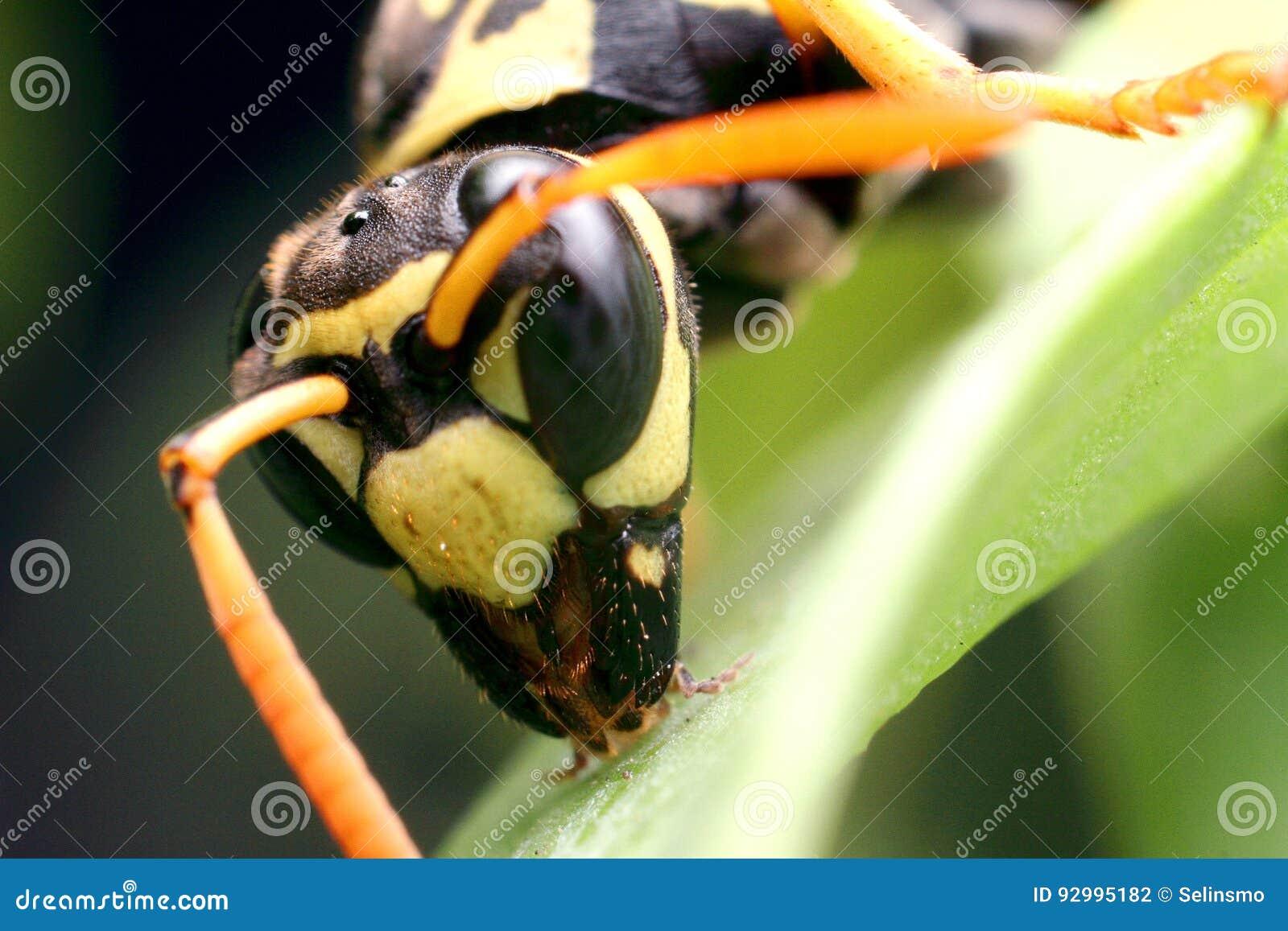 Insecte de guêpe
