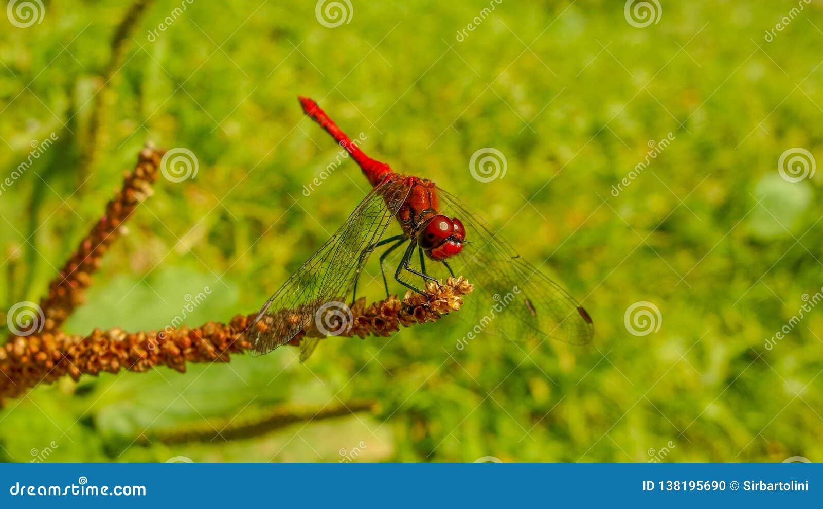 Insecte de libellule d écarlate sur le fond vert