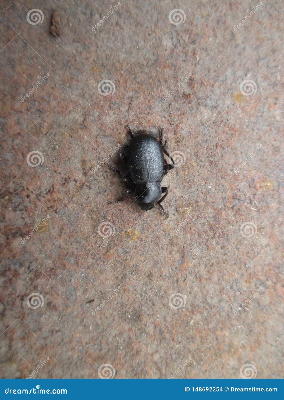 Insecte des lucioles, noir Il se produit dans le sauvage