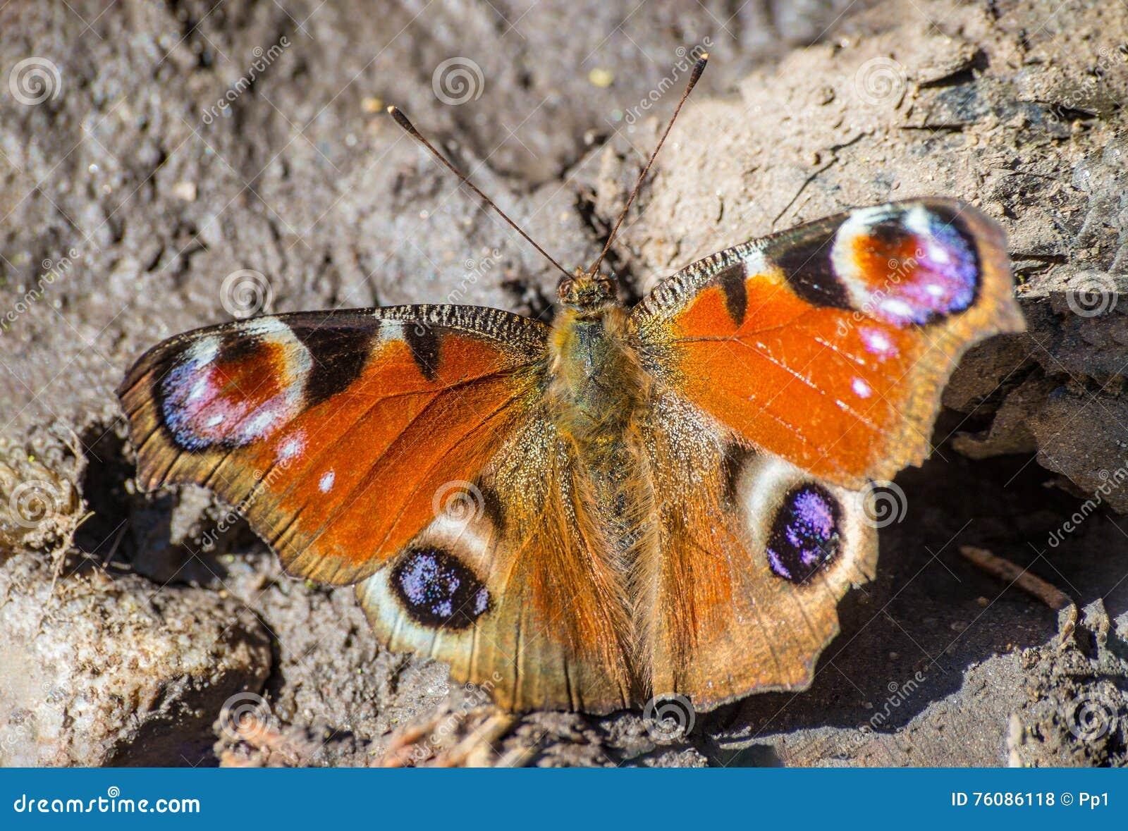 Insecte européen commun de papillon de paon d Aglais E/S