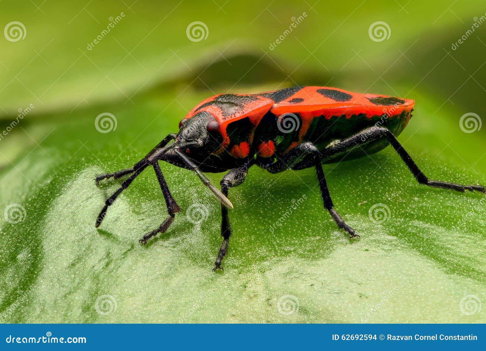 Insecte noir et rouge equestris de lygaeus photo stock image 62692594 - Insecte rouge et noir ...