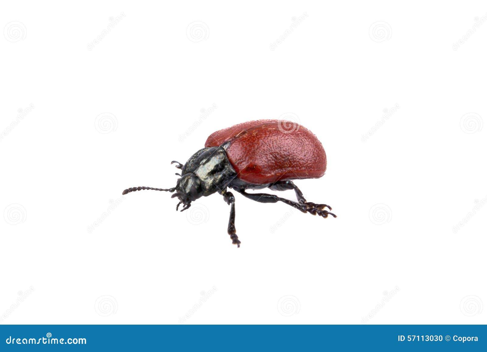 Insecte noir rouge sur un fond blanc photo stock image 57113030 - Insecte rouge et noir ...