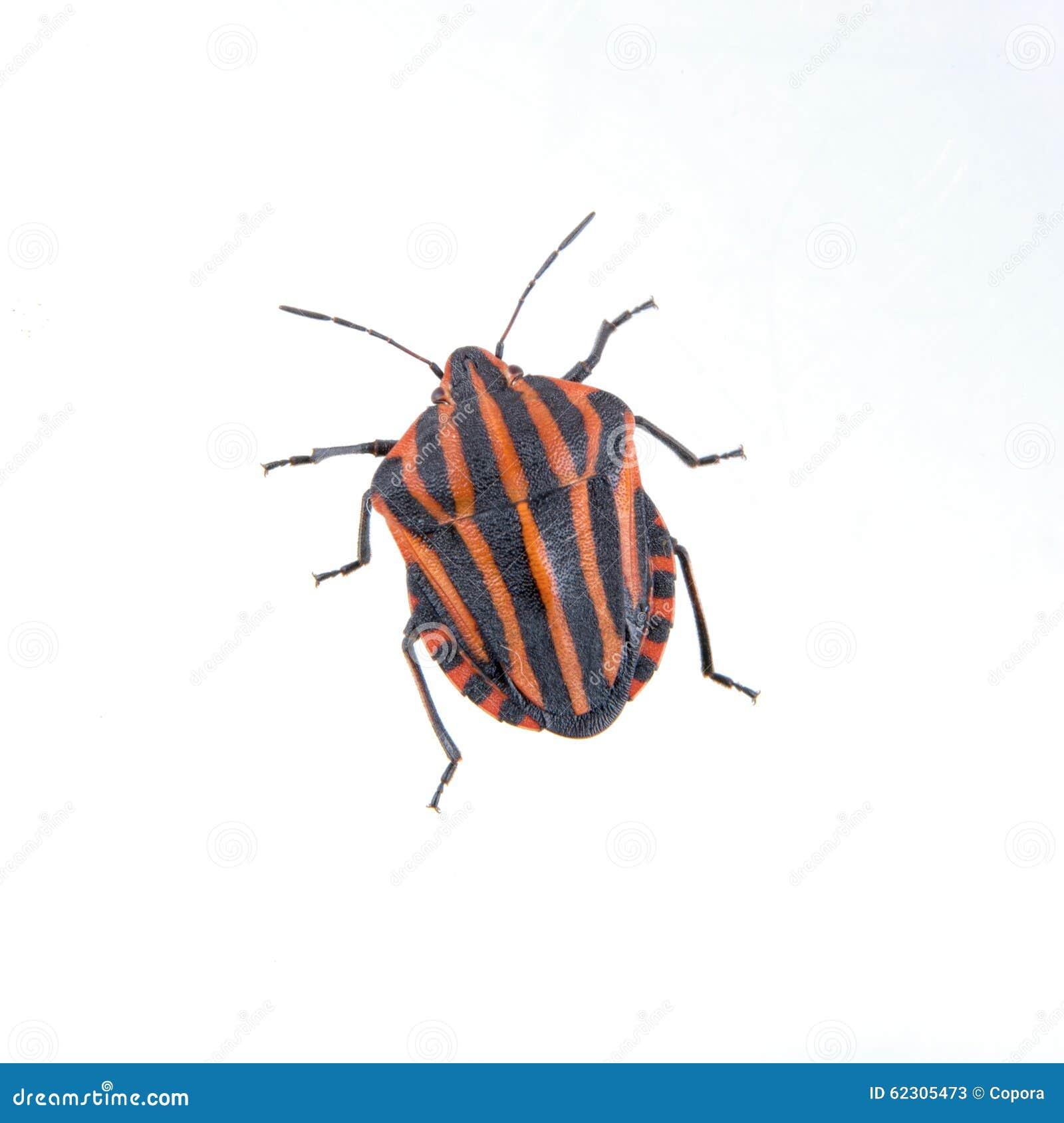Insecte ray noir rouge de bouclier sur un fond blanc photo stock image 62305473 - Insecte rouge et noir ...