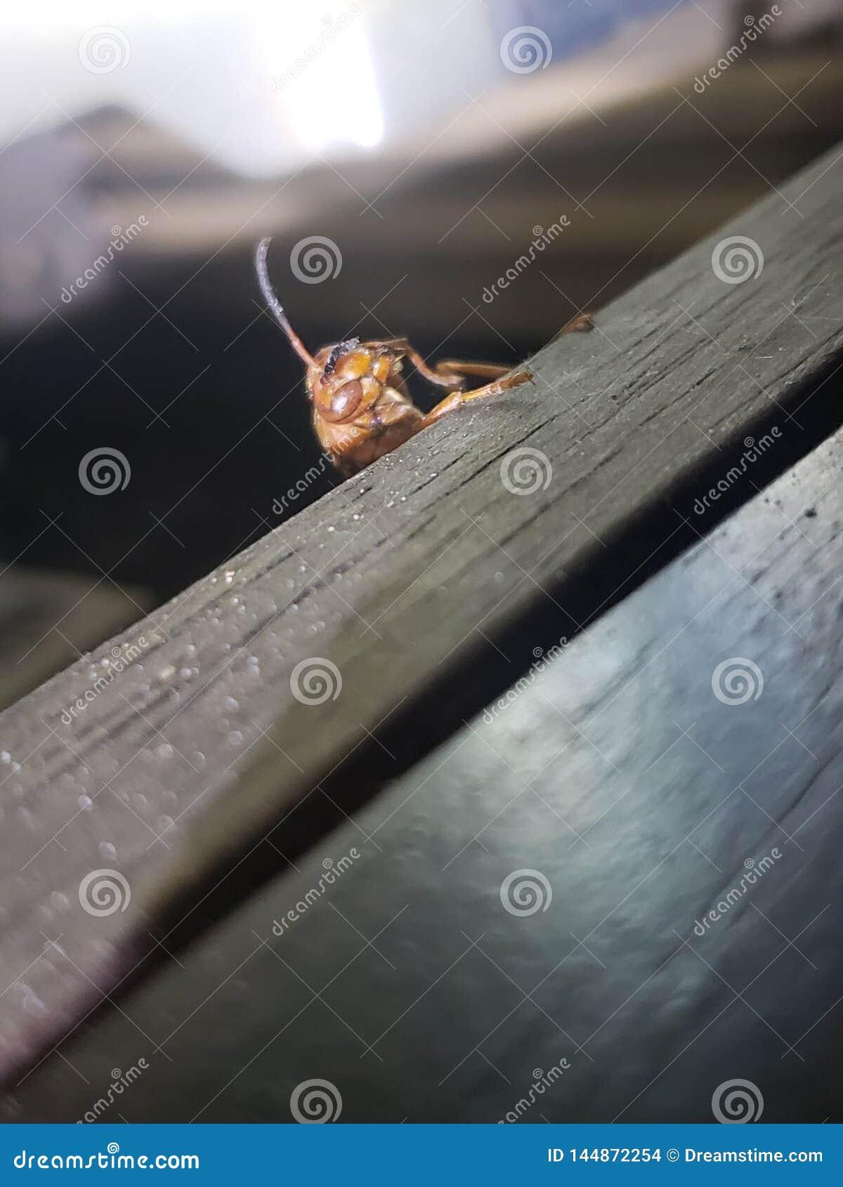 Insecte rouge de guêpe