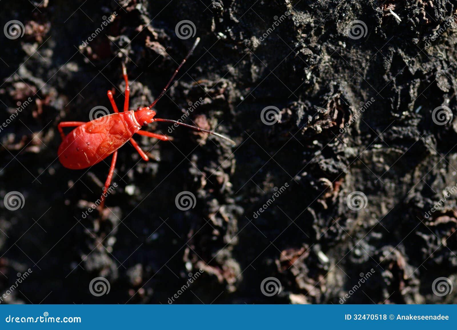 Insecte rouge sur le noir photos libres de droits image 32470518 - Insecte rouge et noir ...