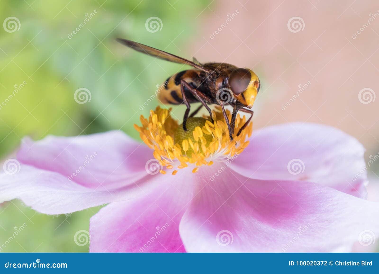 Insecte sur une fleur rose