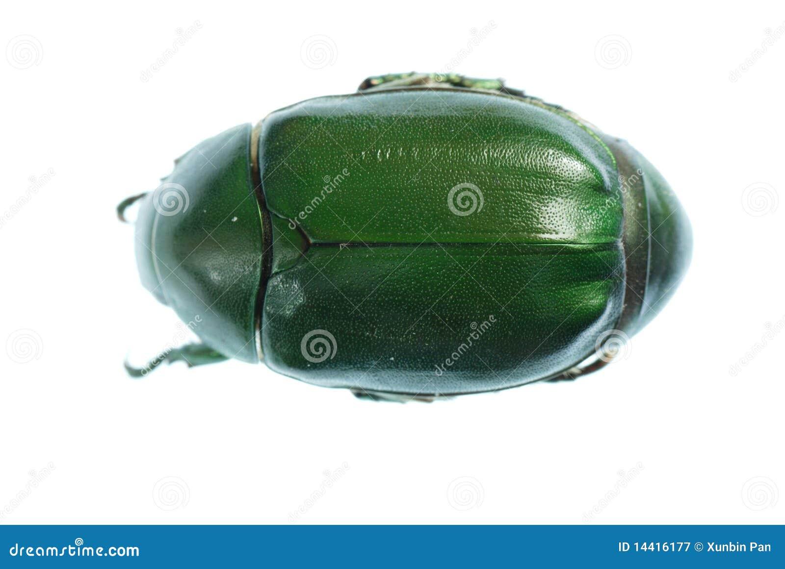Insecte vert de coléoptère