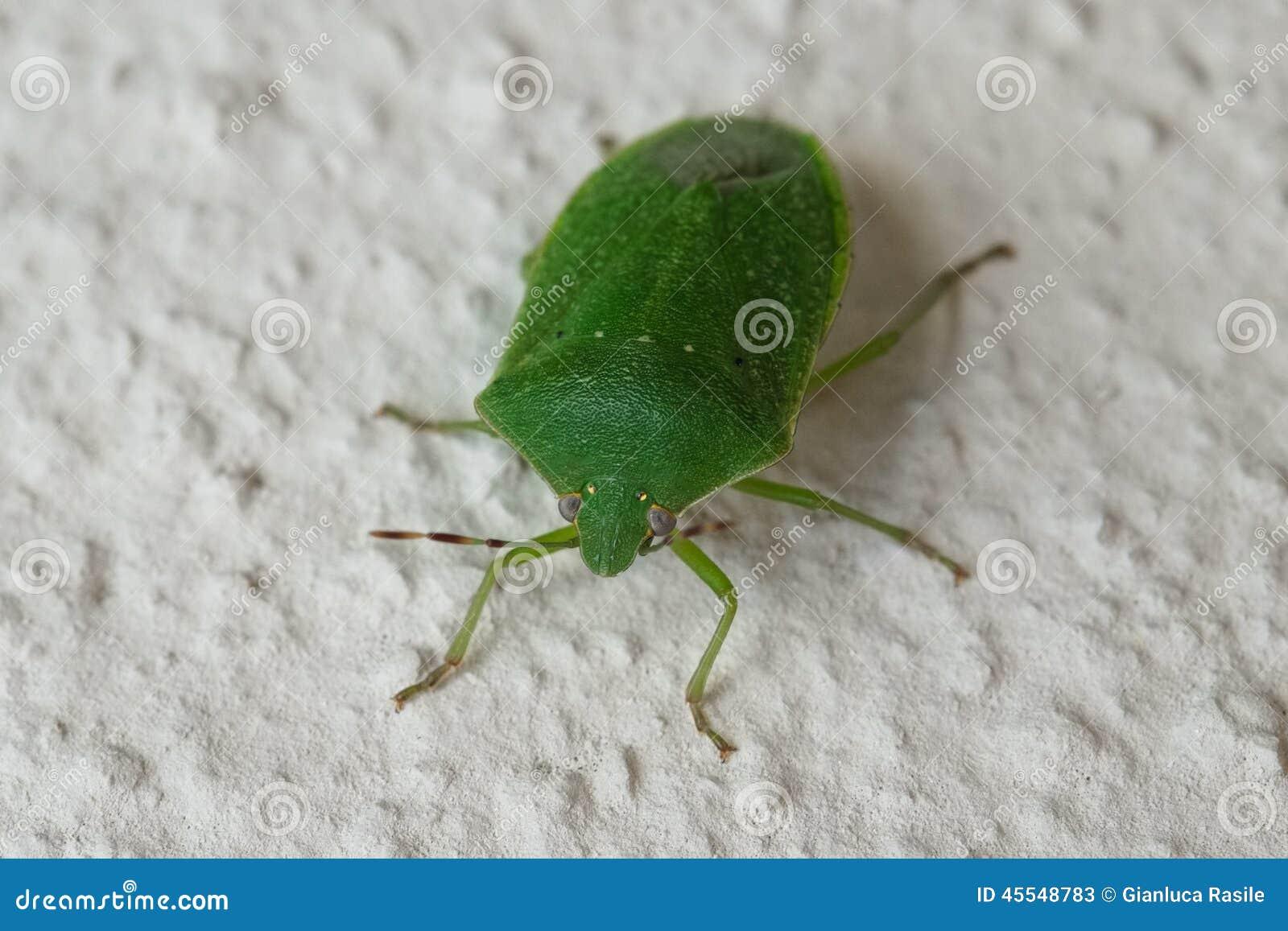 https://thumbs.dreamstime.com/z/insecte-vert-sur-le-mur-45548783.jpg