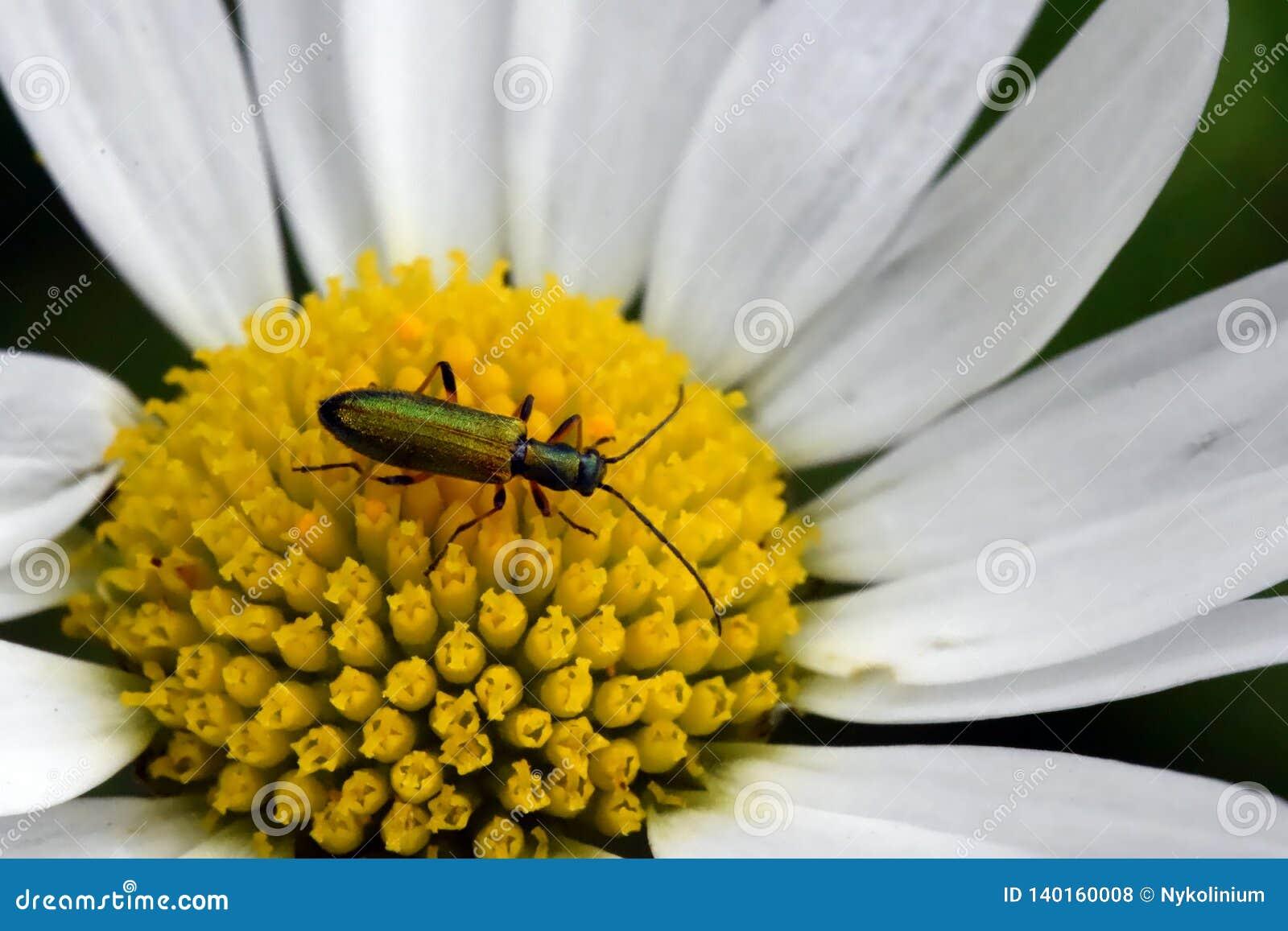 Insecte vert sur une fleur de marguerite