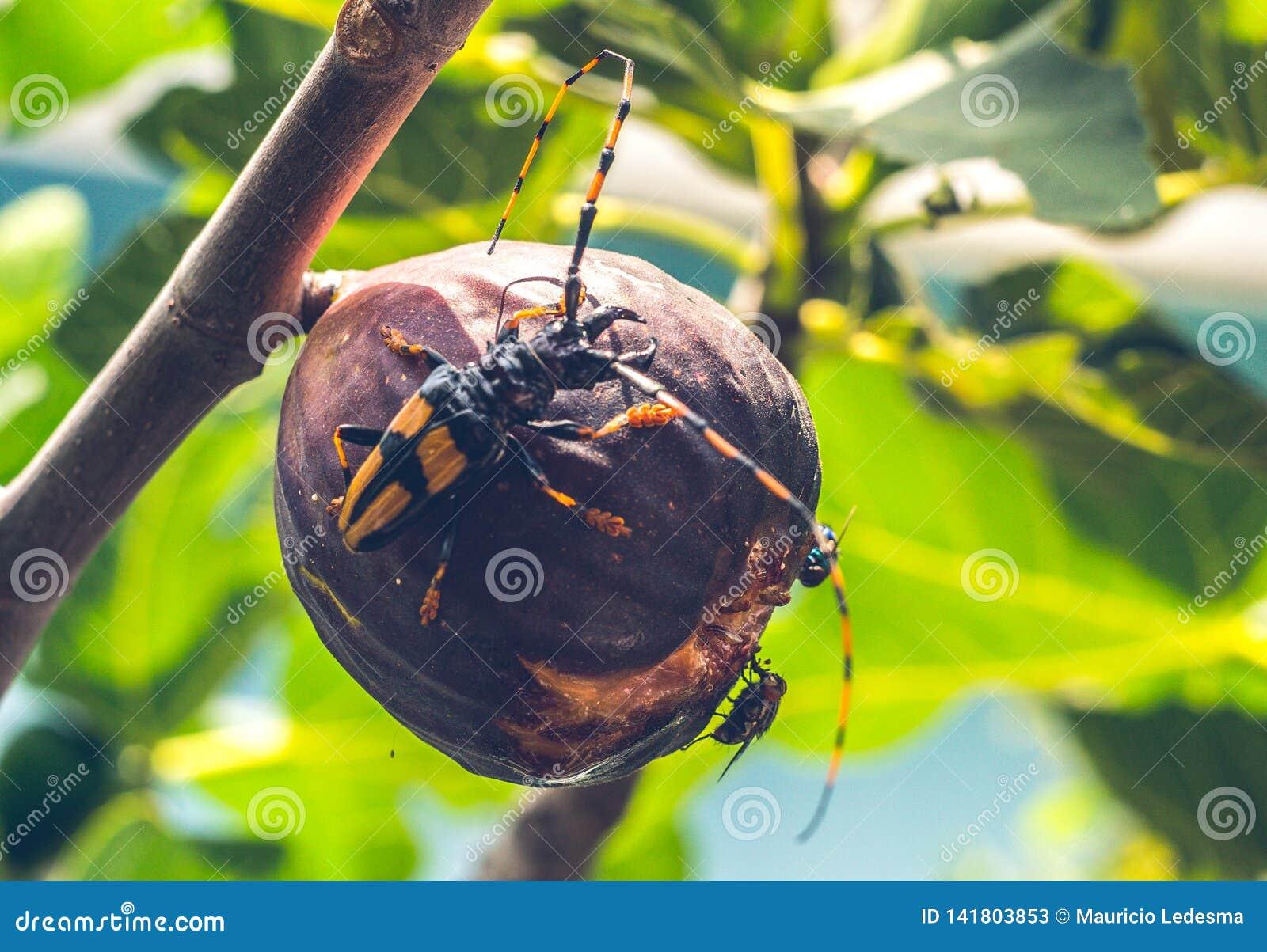 Insecten die fig. op een boom eten