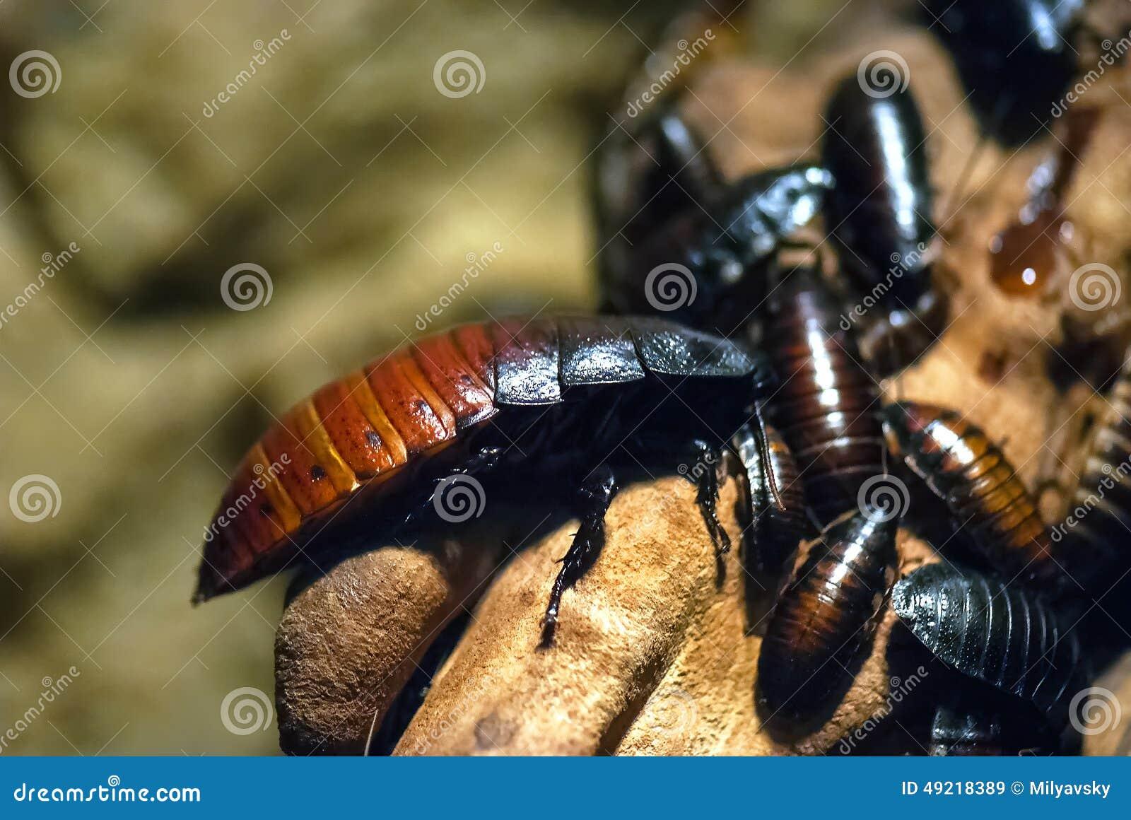 Insecten, kakkerlakken