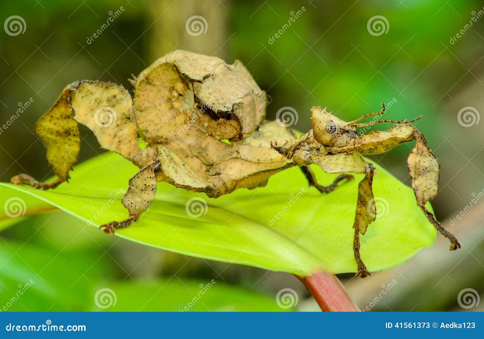 Insecto de hoja espinoso
