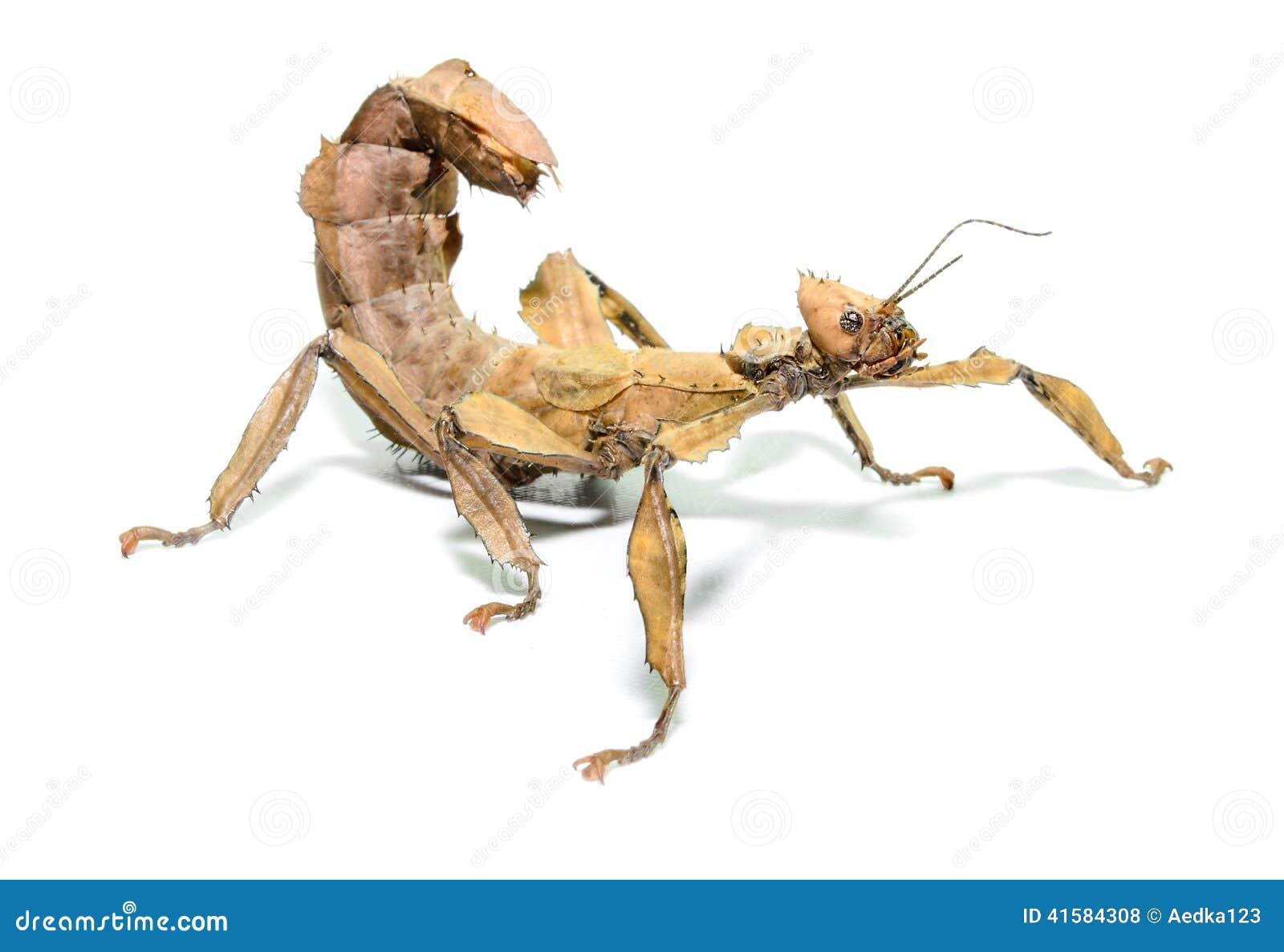 Insecto de hoja espinoso femenino, tiaratum de Extatosoma,