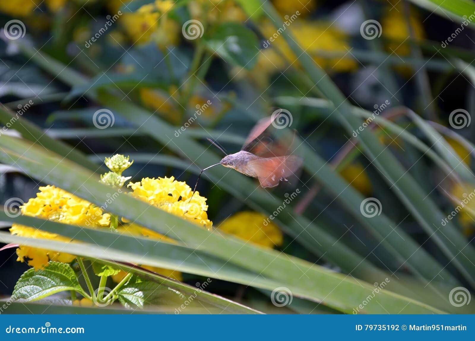 Insecto de la halcón-polilla del colibrí en fotografía del detalle del verano
