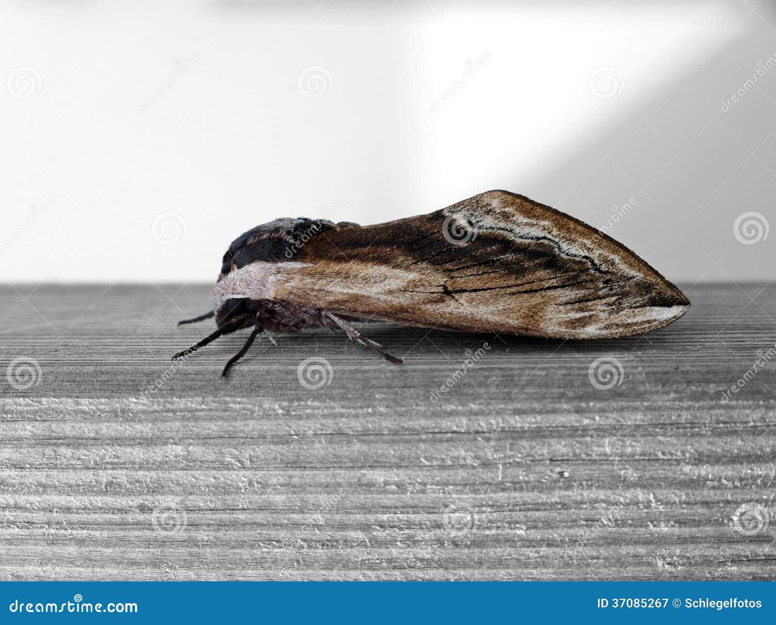 Insecto De La Polilla En La Madera Imagen De Archivo Imagen De  ~ Como Son Las Polillas De La Madera