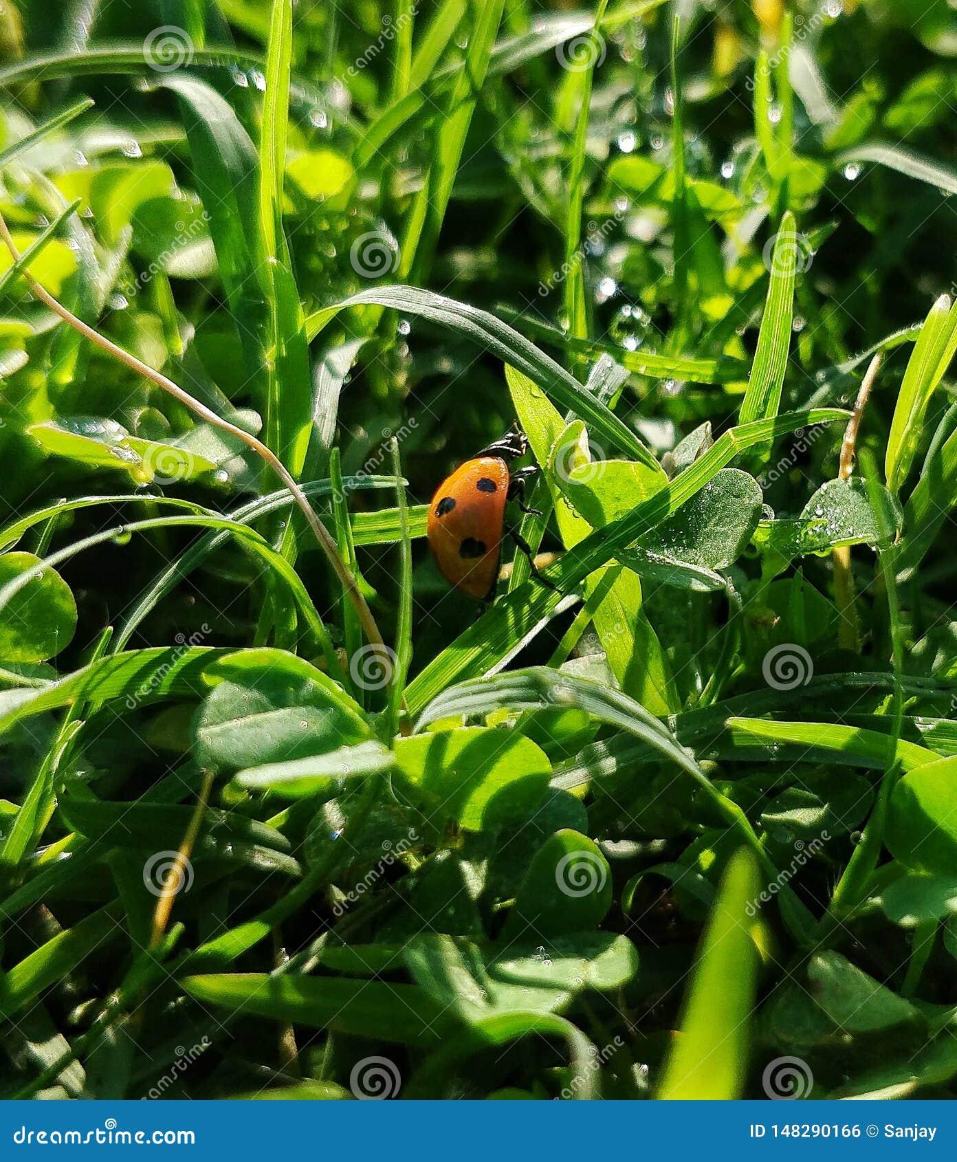Insecto de la se?ora con el fondo herboso verde