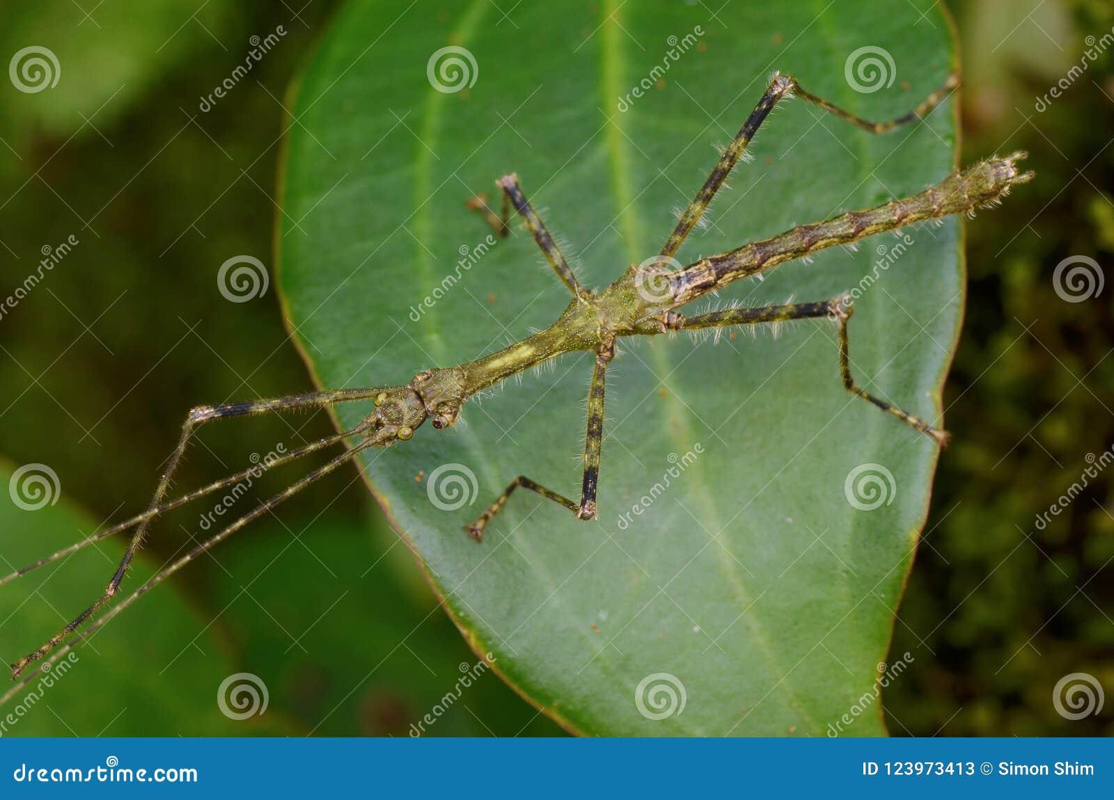 Insecto de palillo