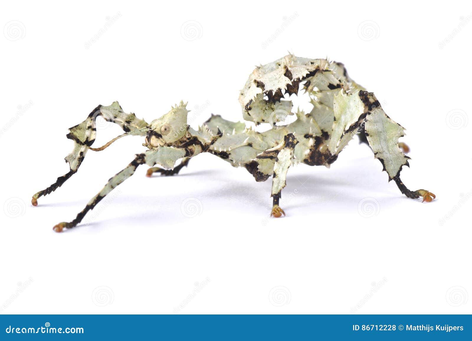 Insecto de palillo espinoso gigante, tiaratum de Extatosoma