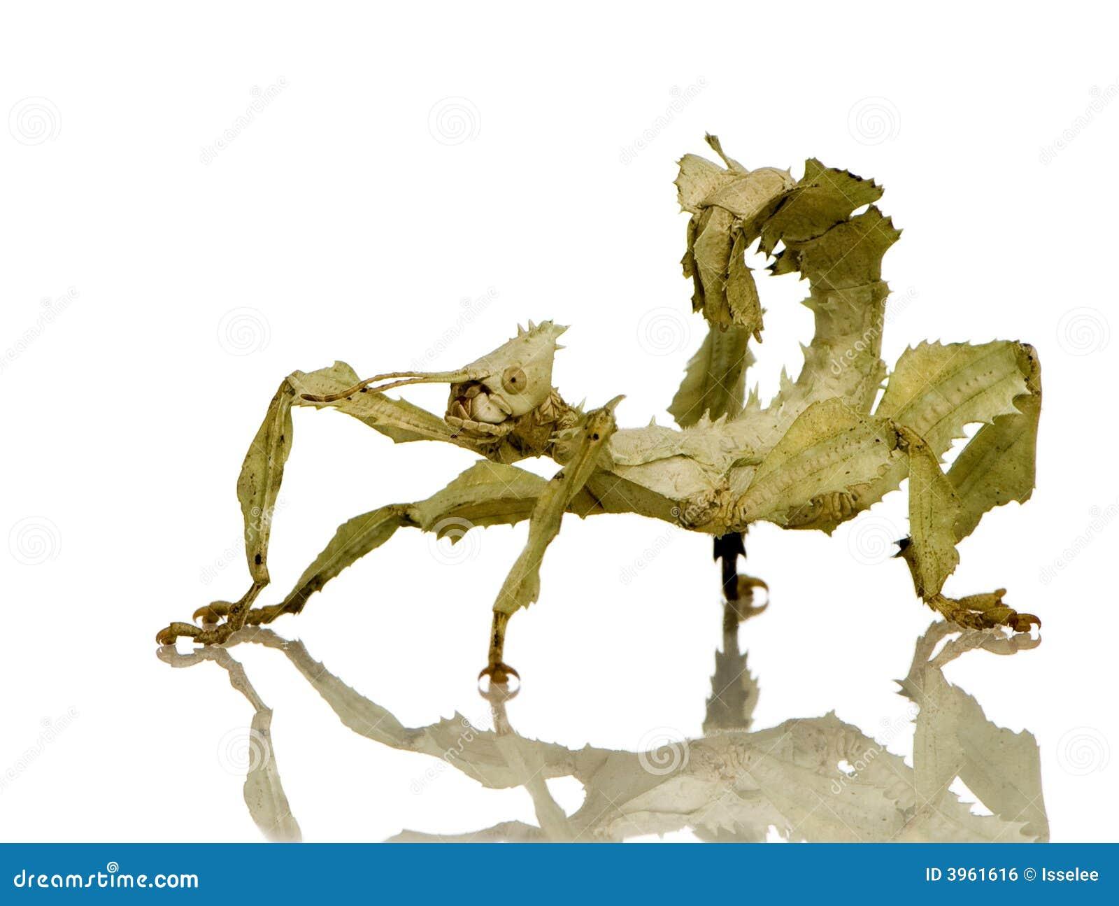 Insecto de palillo, Phasmatodea - tiaratum de Extatosoma