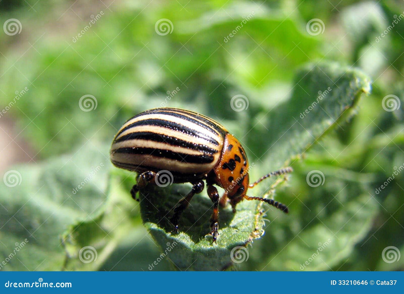 Insecto de patata
