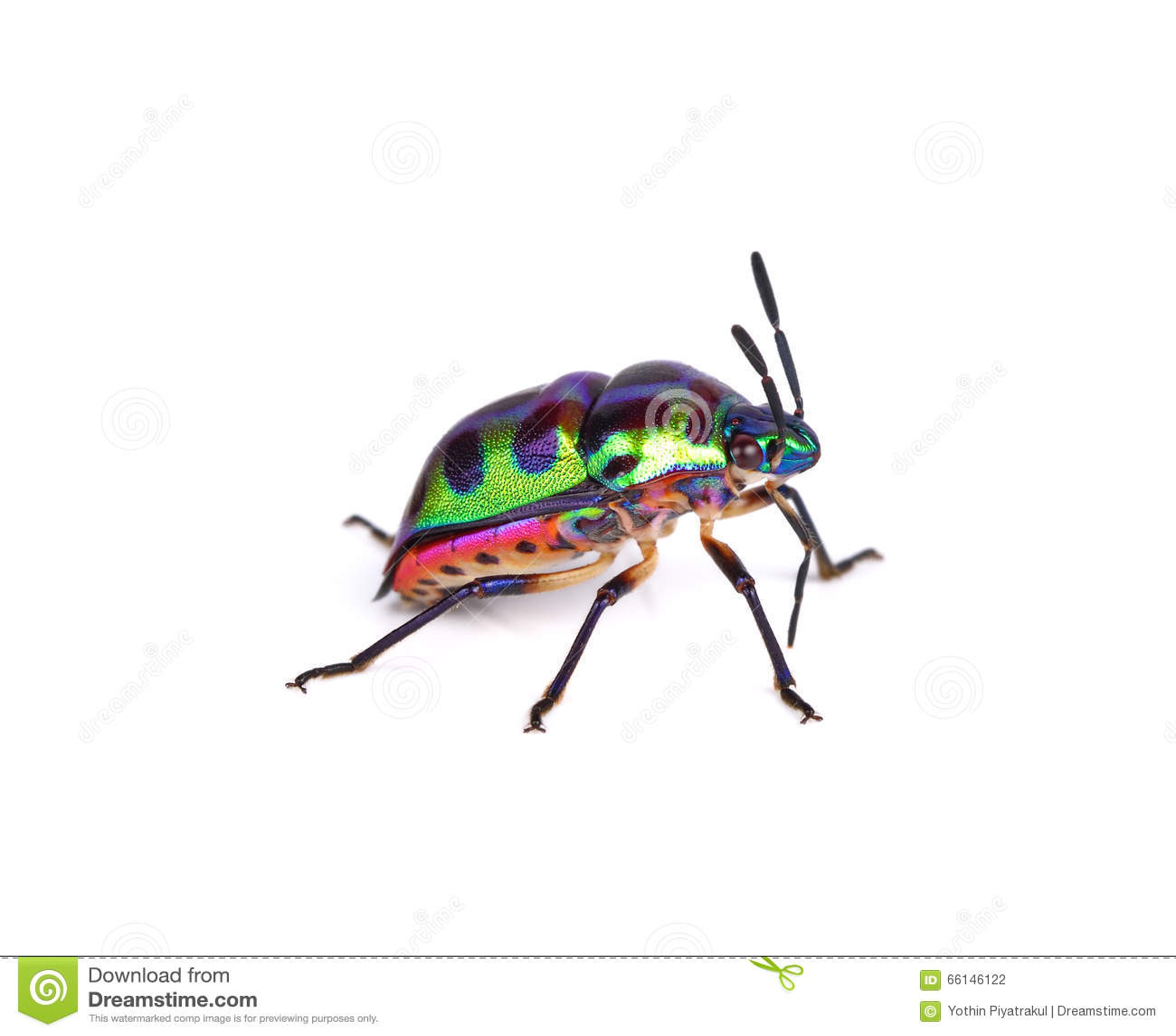 8630f5ae2e17d Insecto del lichí, Tong Taek Bug, stollii de Chrysocoris en el backgro  blanco