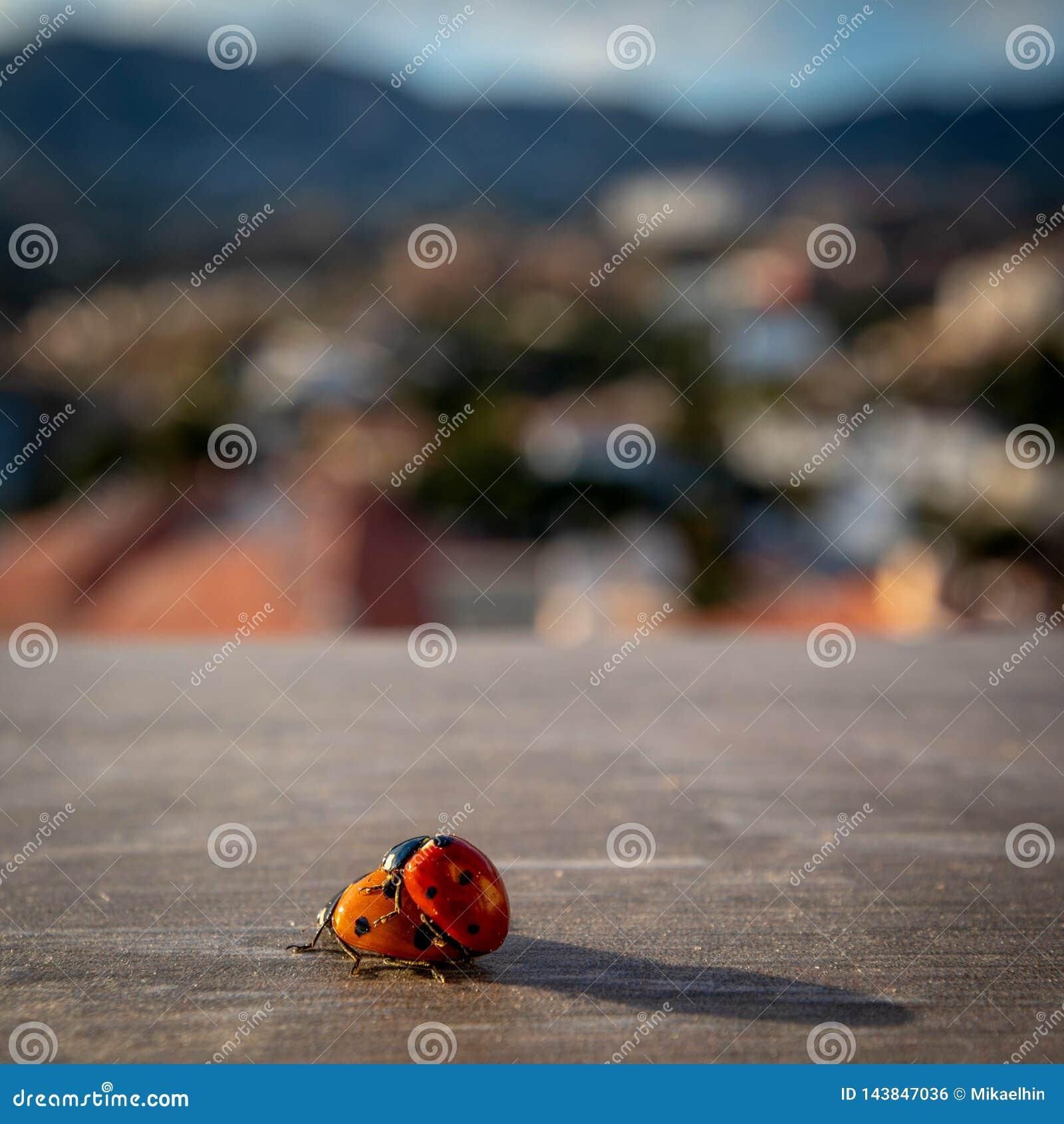 Insectos de acoplamiento de la señora en Costa del Sol