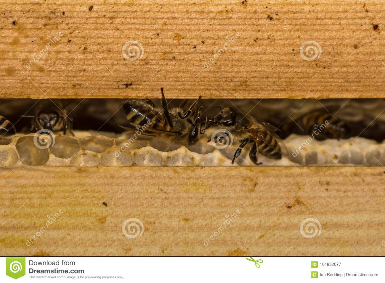 Honey bees & x28;Apis mellifera& x29; on honey comb in hive