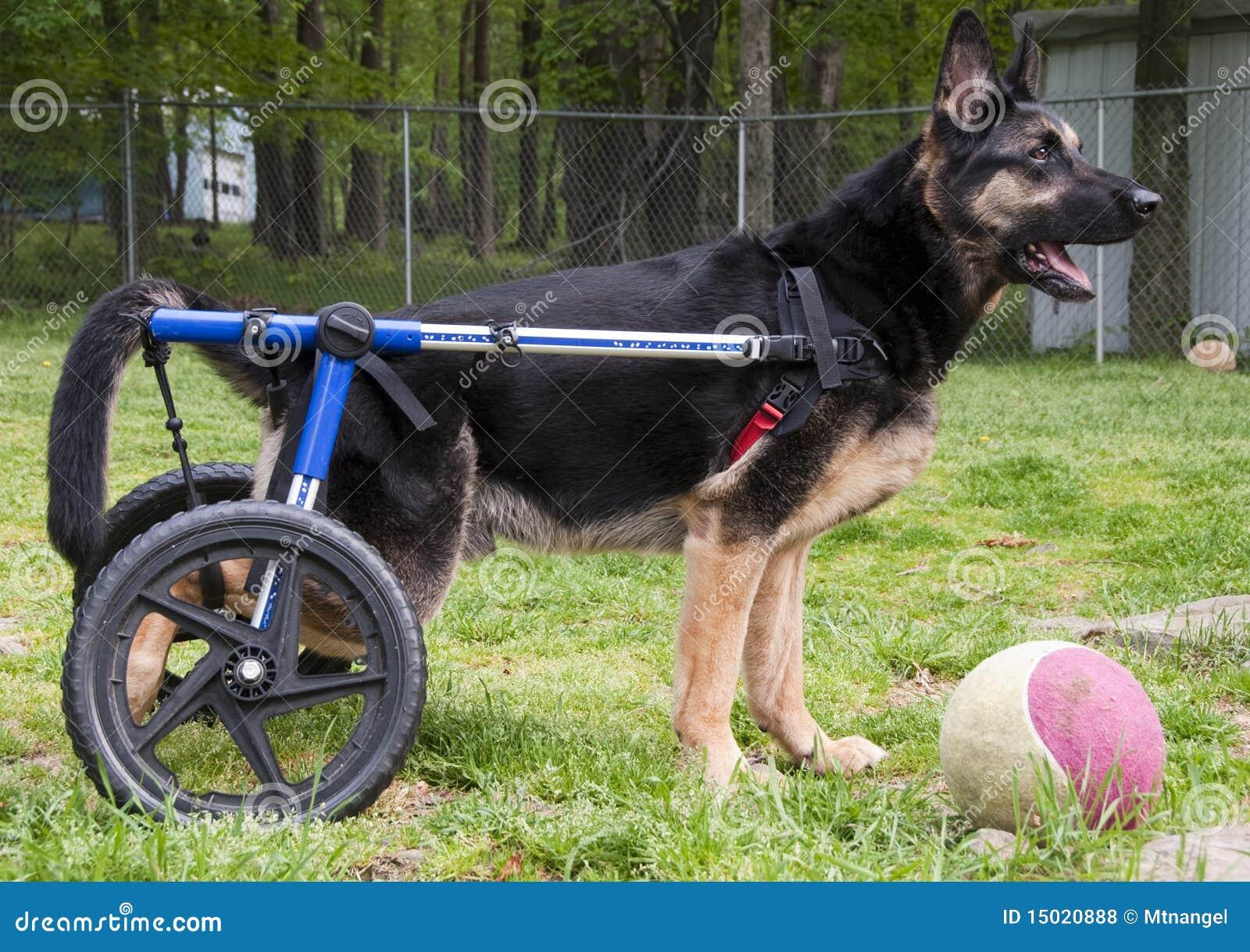insegua in sedia a rotelle ii fotografia stock immagine On sedia a rotelle cane