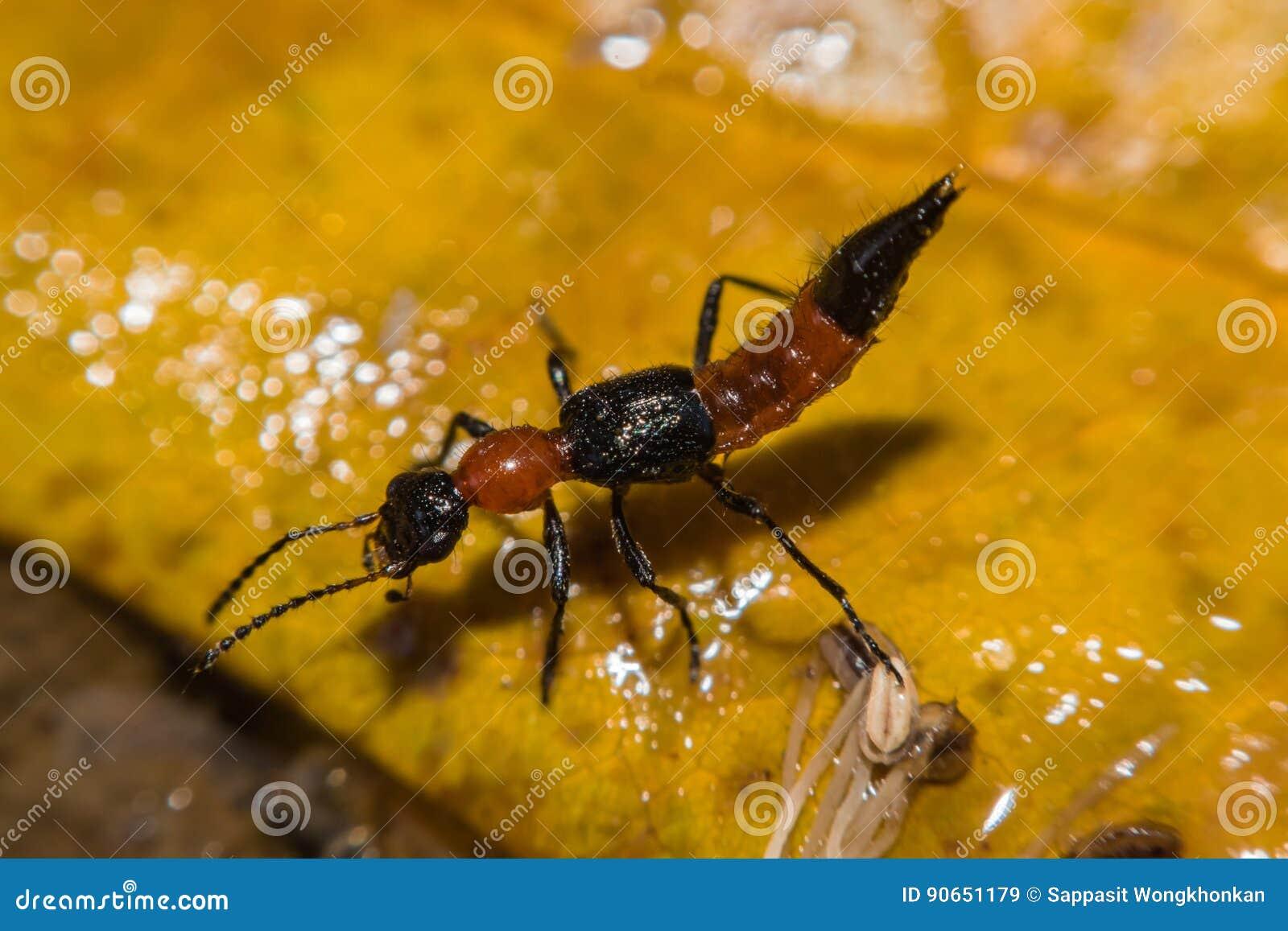 Insekta Paederus riparius Dermatitis - Alergiczna reakcja